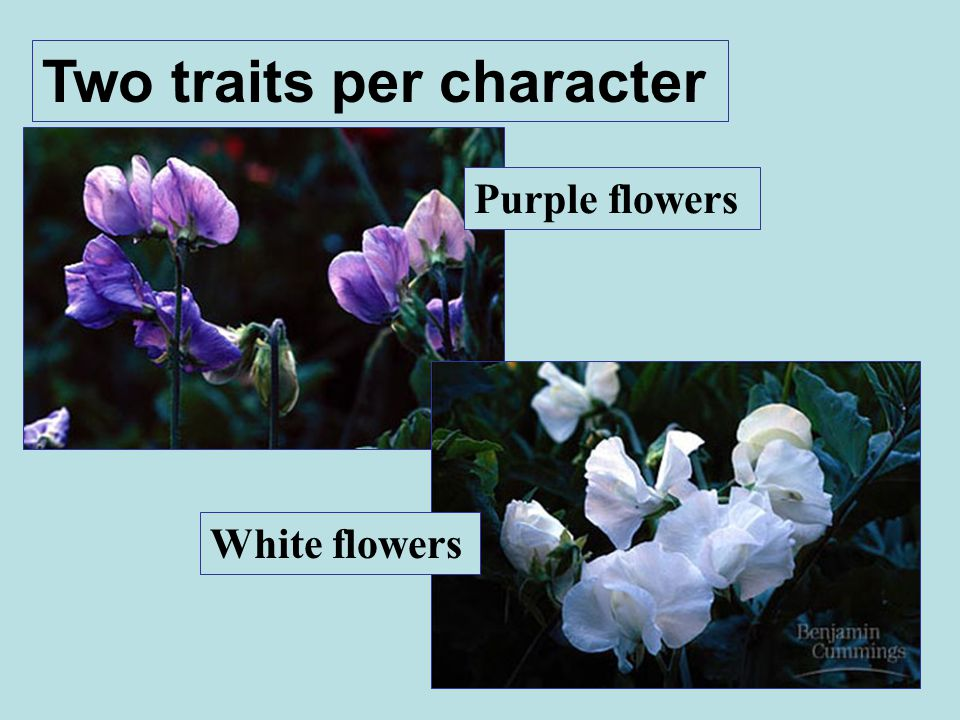 Two traits per character Purple flowers White flowers