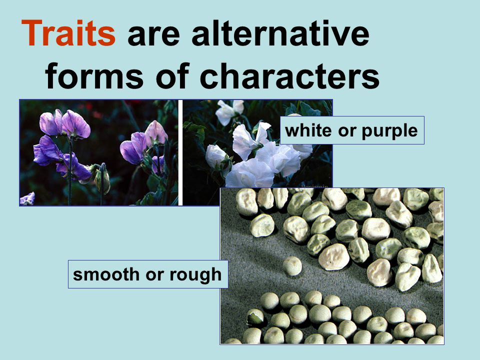 Traits are alternative forms of characters white or purple smooth or rough
