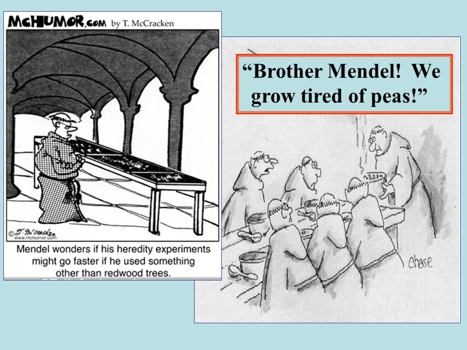 Brother Mendel! We grow tired of peas!