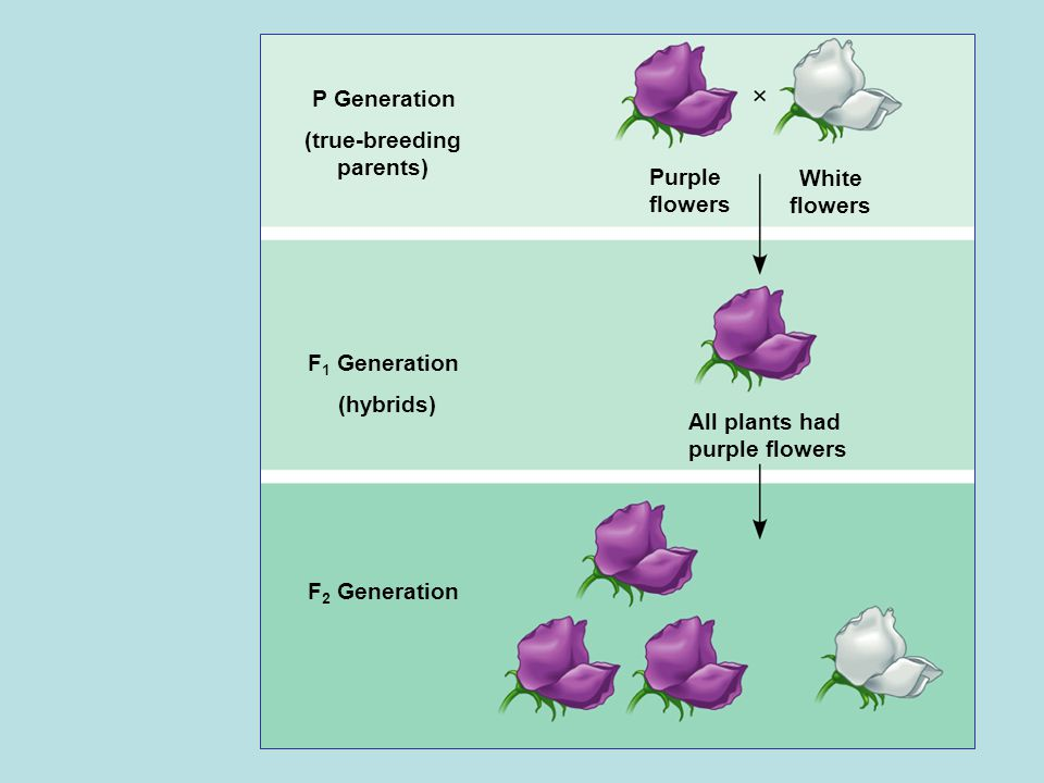 P Generation (true-breeding parents) F 1 Generation (hybrids) F 2 Generation Purple flowers White flowers All plants had purple flowers