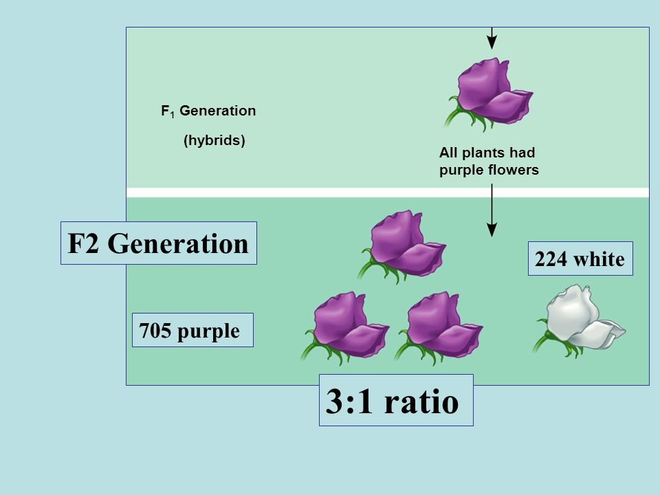 F 1 Generation (hybrids) All plants had purple flowers F2 Generation 705 purple 224 white 3:1 ratio