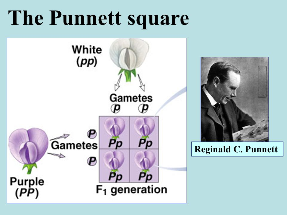The Punnett square Reginald C. Punnett