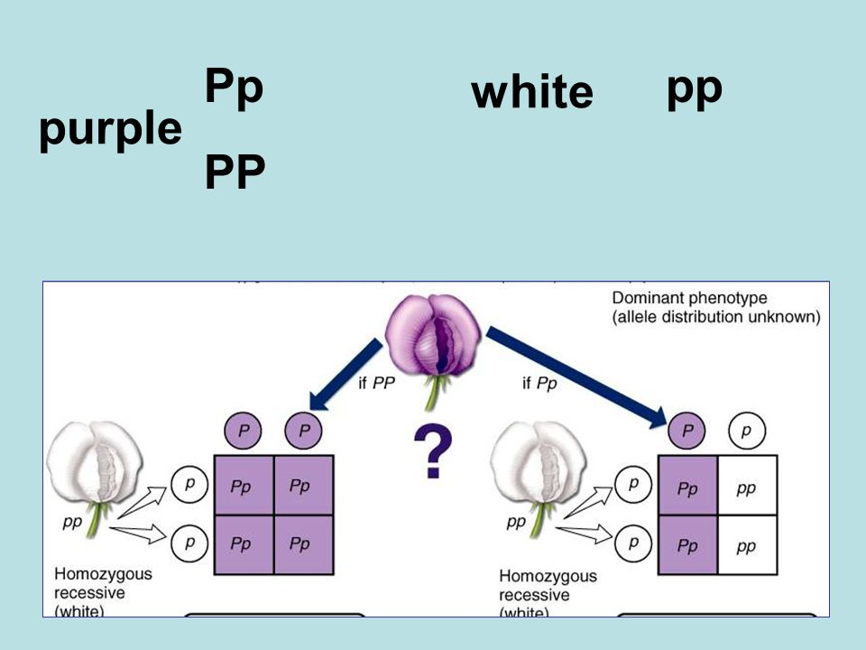 purple Pp PP white pp