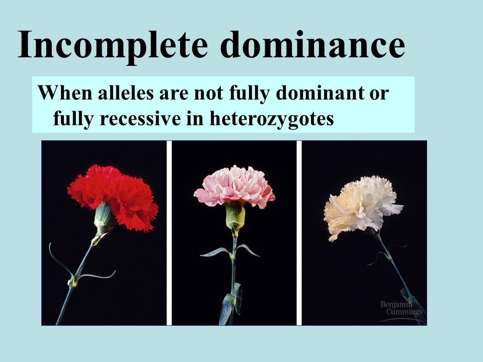 Incomplete dominance When alleles are not fully dominant or fully recessive in heterozygotes