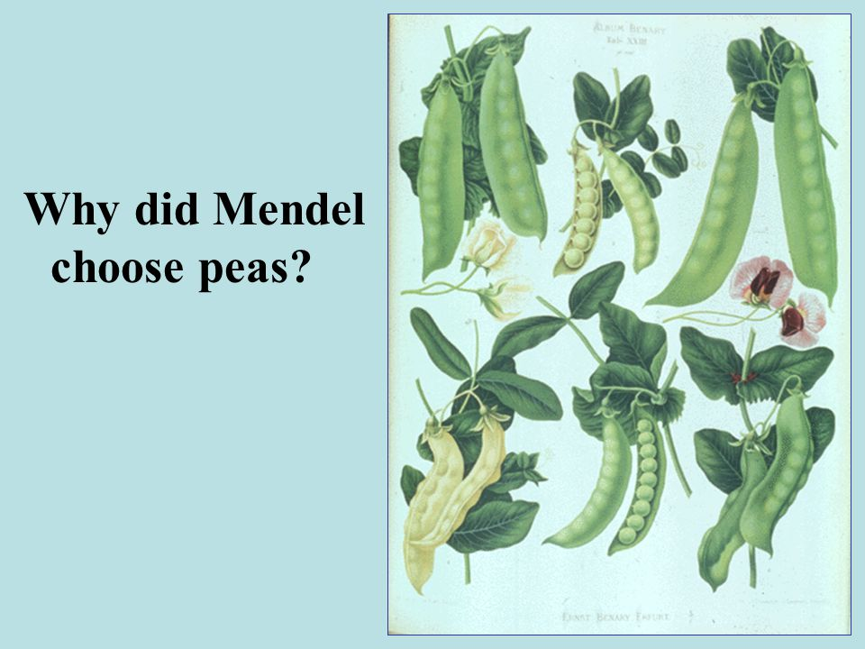 Why did Mendel choose peas