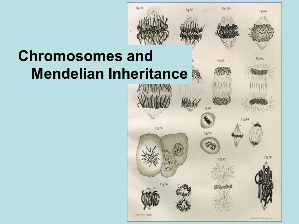 Chromosomes and Mendelian Inheritance
