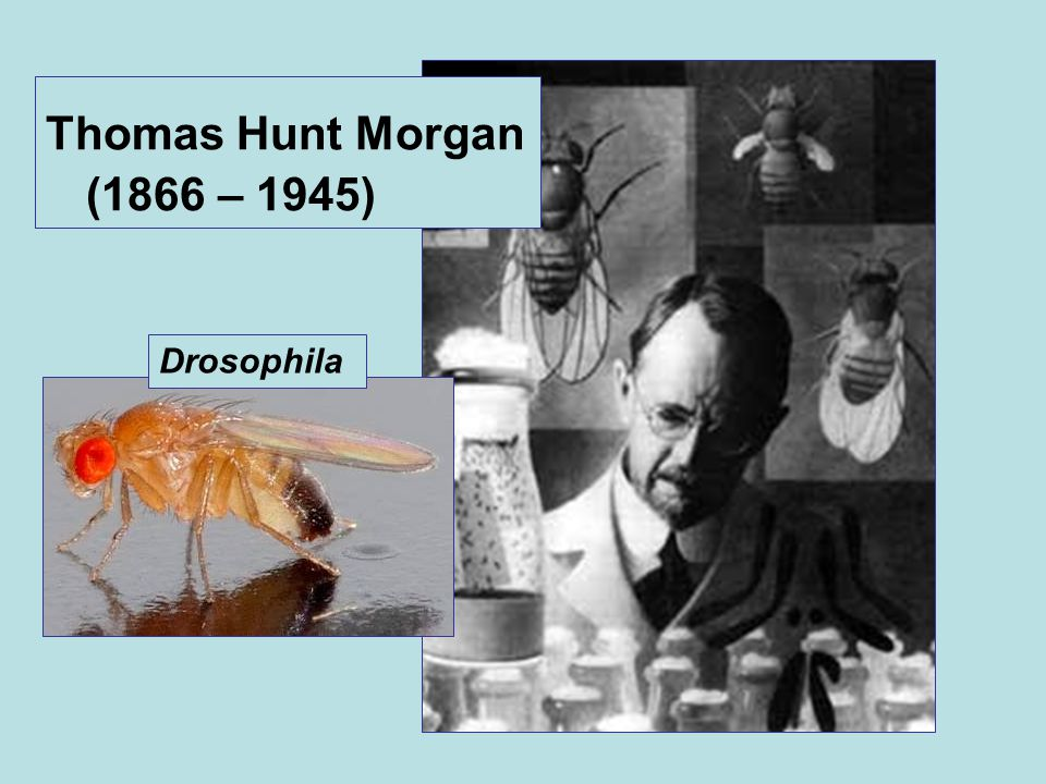 Thomas Hunt Morgan (1866 – 1945) Drosophila