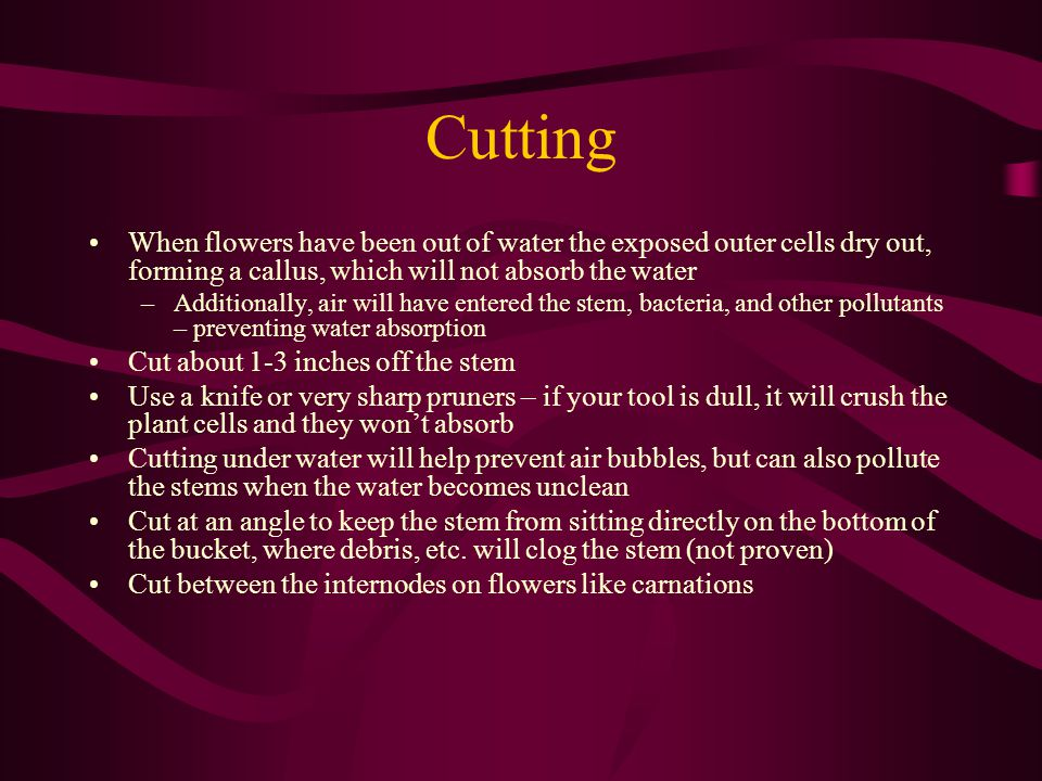 Cutting When flowers have been out of water the exposed outer cells dry out, forming a callus, which will not absorb the water –Additionally, air will have entered the stem, bacteria, and other pollutants – preventing water absorption Cut about 1-3 inches off the stem Use a knife or very sharp pruners – if your tool is dull, it will crush the plant cells and they wont absorb Cutting under water will help prevent air bubbles, but can also pollute the stems when the water becomes unclean Cut at an angle to keep the stem from sitting directly on the bottom of the bucket, where debris, etc.