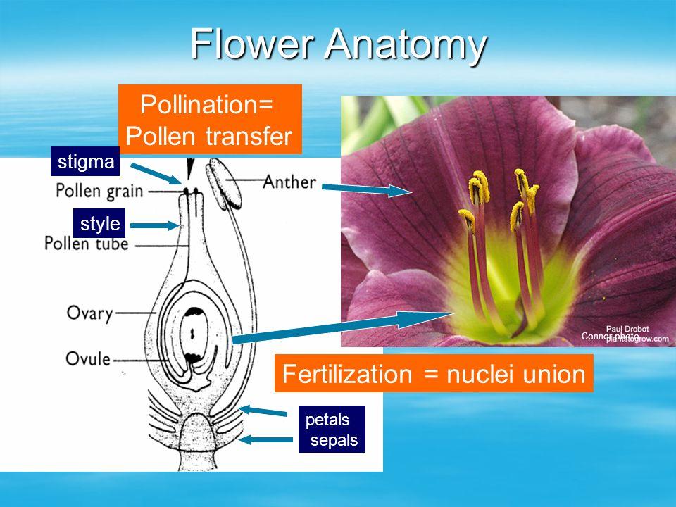 Flower Anatomy petals sepals Pollination= Pollen transfer Fertilization = nuclei union stigma style Connor photo