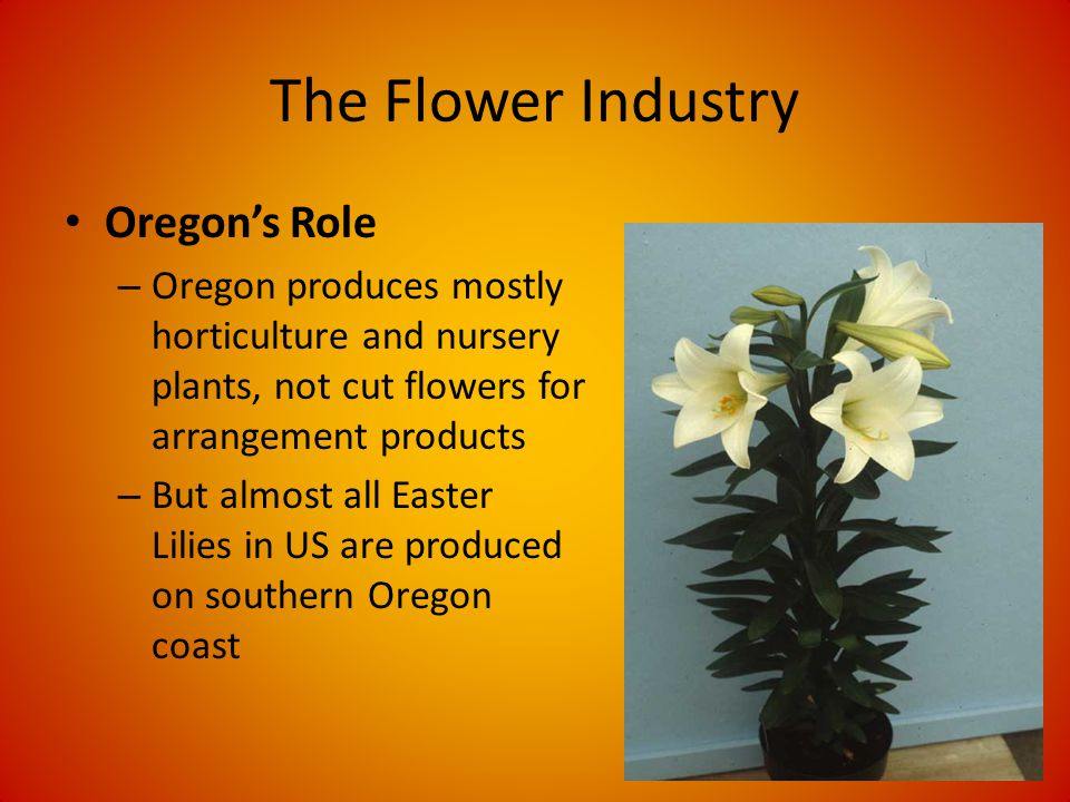 The Flower Industry Oregons Role – Oregon produces mostly horticulture and nursery plants, not cut flowers for arrangement products – But almost all Easter Lilies in US are produced on southern Oregon coast