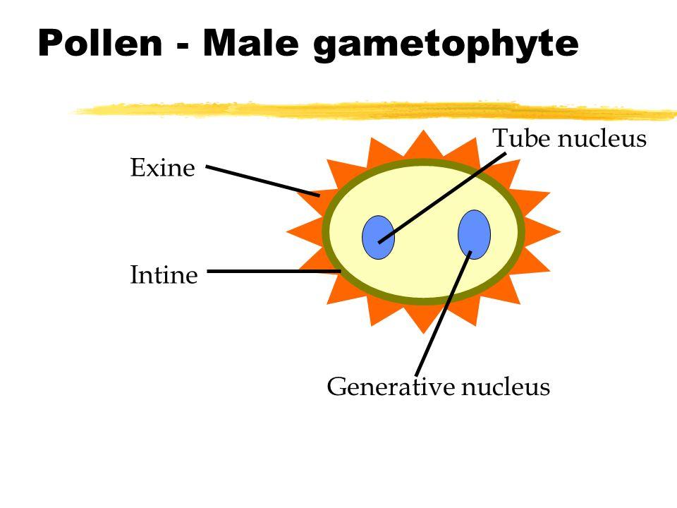 Pollen - Male gametophyte Tube nucleus Generative nucleus Exine Intine
