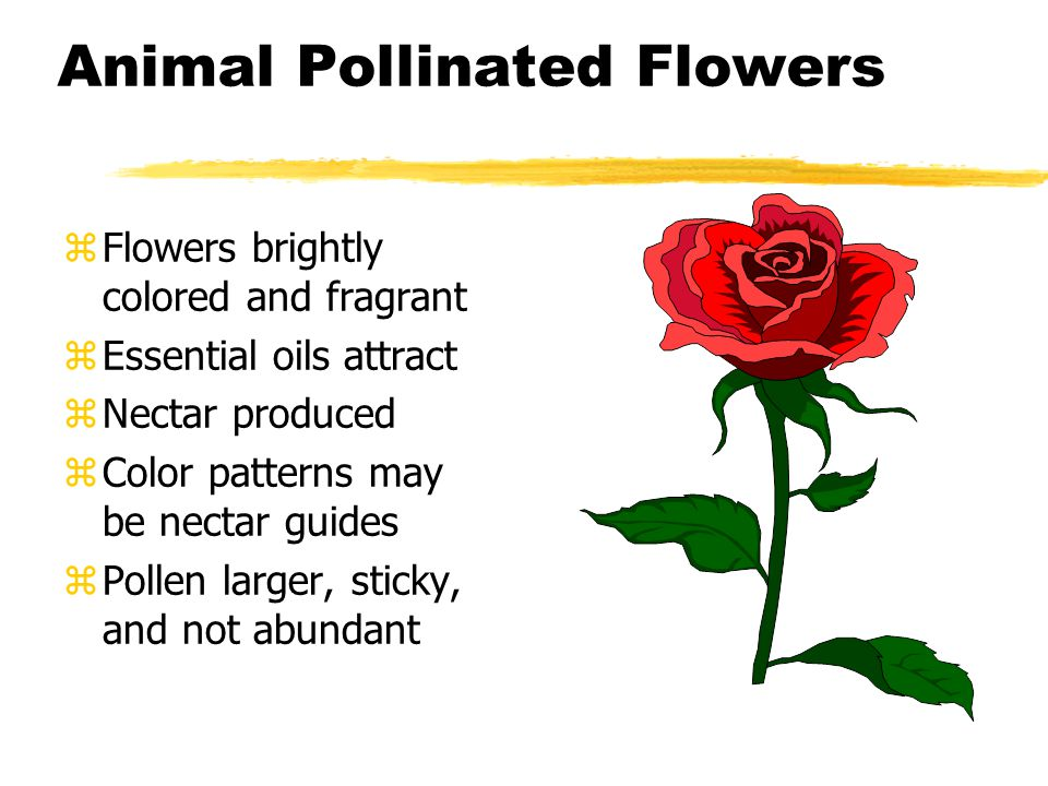 Animal Pollinated Flowers zFlowers brightly colored and fragrant zEssential oils attract zNectar produced zColor patterns may be nectar guides zPollen