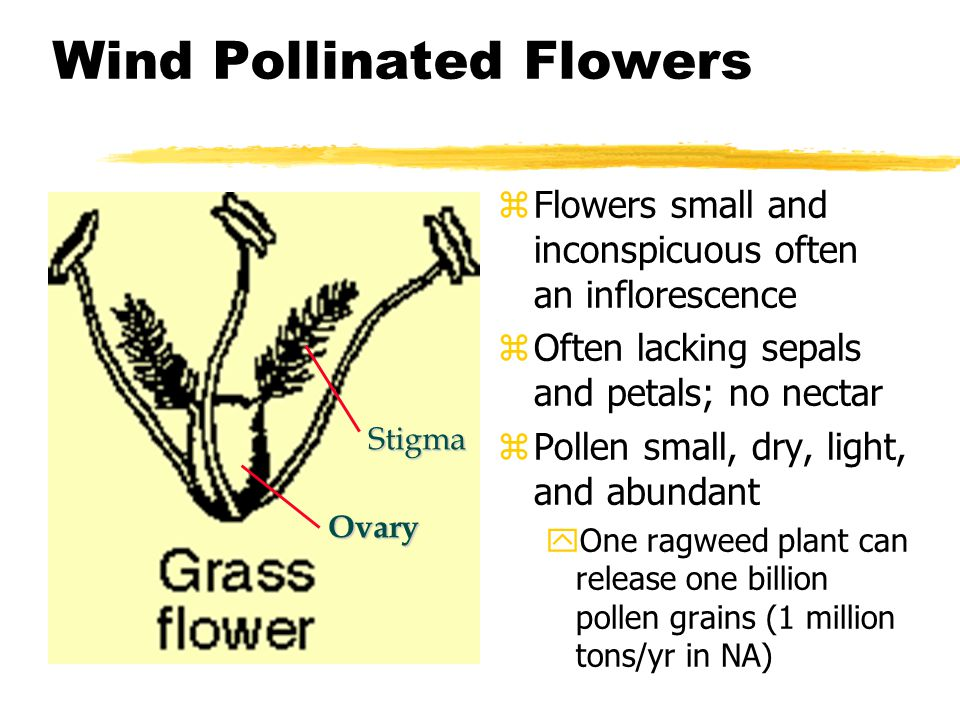 Wind Pollinated Flowers z Flowers small and inconspicuous often an inflorescence z Often lacking sepals and petals; no nectar z Pollen small, dry, lig