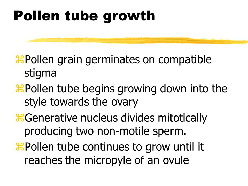 Pollen tube growth zPollen grain germinates on compatible stigma zPollen tube begins growing down into the style towards the ovary zGenerative nucleus