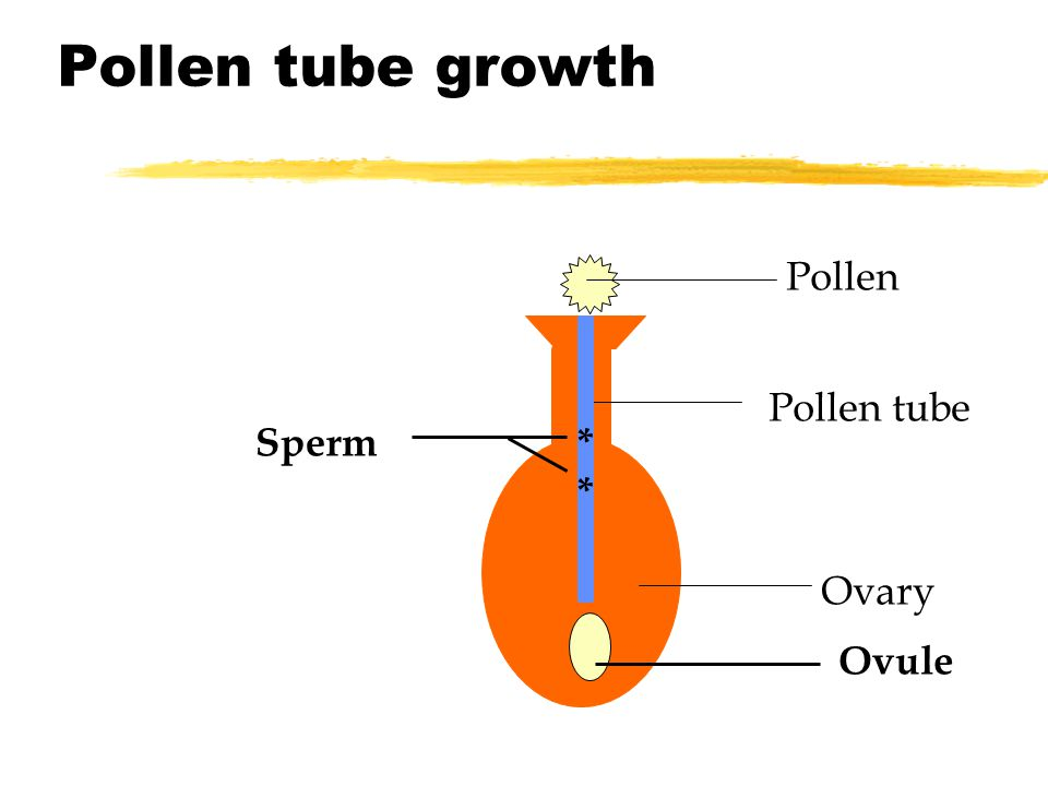 Pollen tube growth Pollen Pollen tube Ovary Ovule **** Sperm