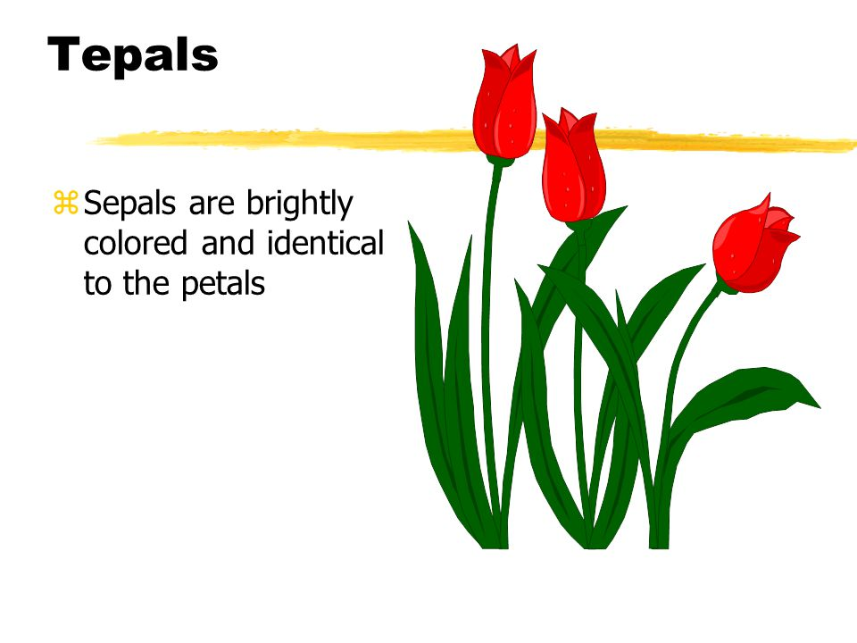Tepals zSepals are brightly colored and identical to the petals
