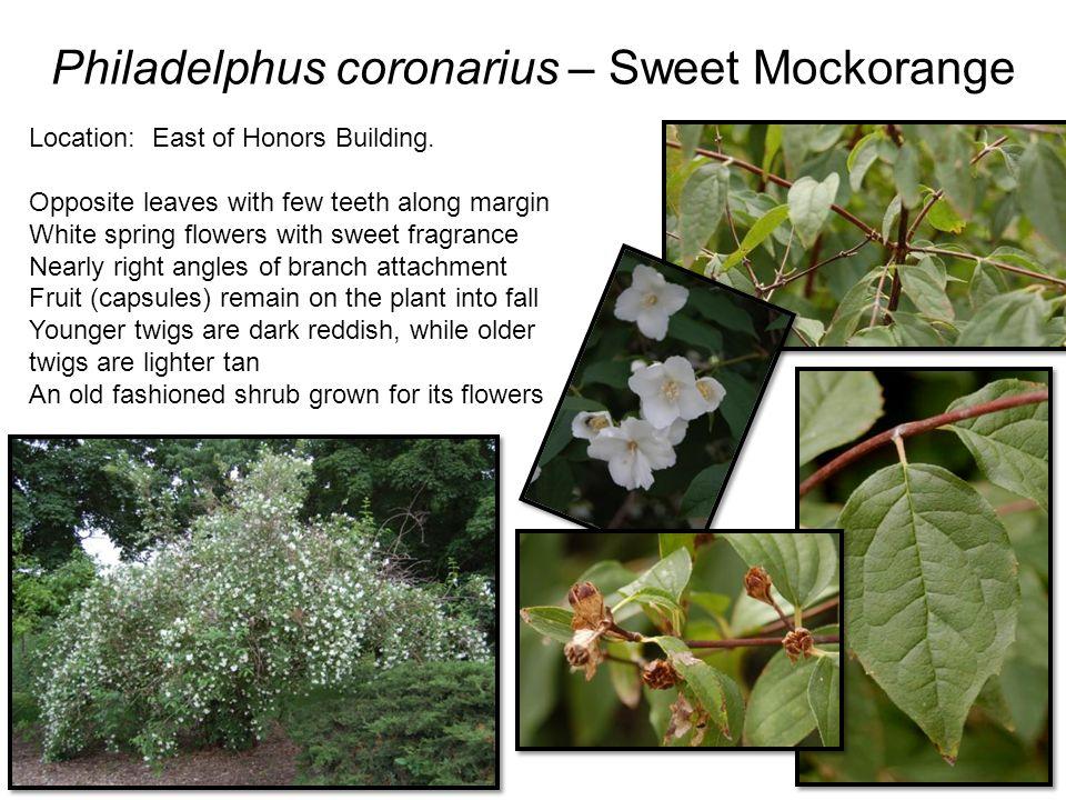 Philadelphus coronarius – Sweet Mockorange Location: East of Honors Building.