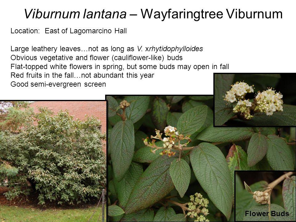 Viburnum lantana – Wayfaringtree Viburnum Location: East of Lagomarcino Hall Large leathery leaves…not as long as V.