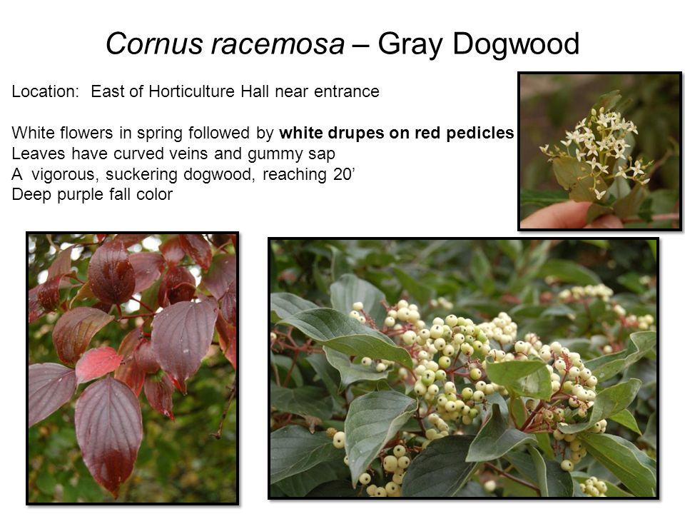 Euonymus alatus – Burning Bush Location: East side of Bessey Hall Opposite leaves are elliptical w/small serrations Winged twigs make great ID trait Fall fruits are red arils Grown mostly for its reliable red fall color Extremely common plant in horticulture Compactus is a smaller version, reaching 6 Species may reach 12