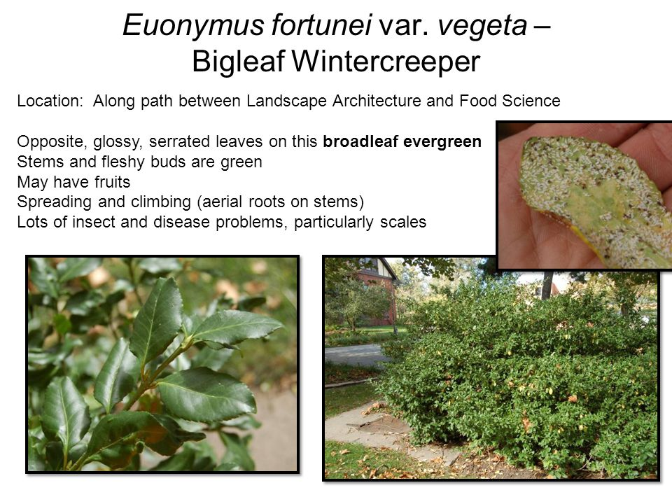 Euonymus fortunei var. vegeta – Bigleaf Wintercreeper Location: Along path between Landscape Architecture and Food Science Opposite, glossy, serrated