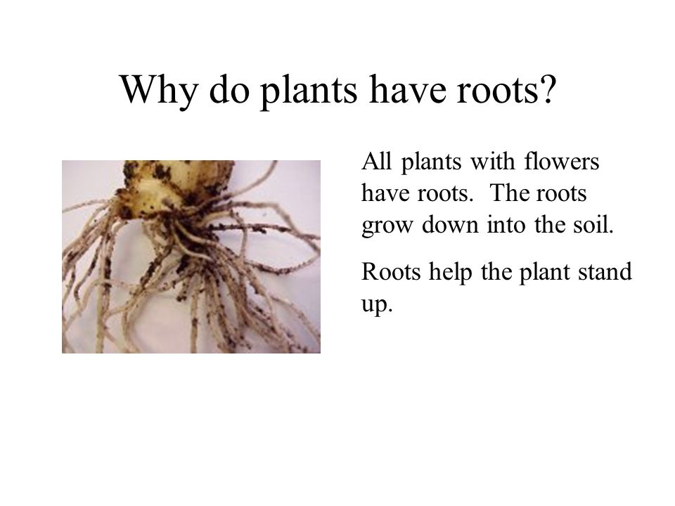 Why do plants have roots? All plants with flowers have roots. The roots grow down into the soil.
