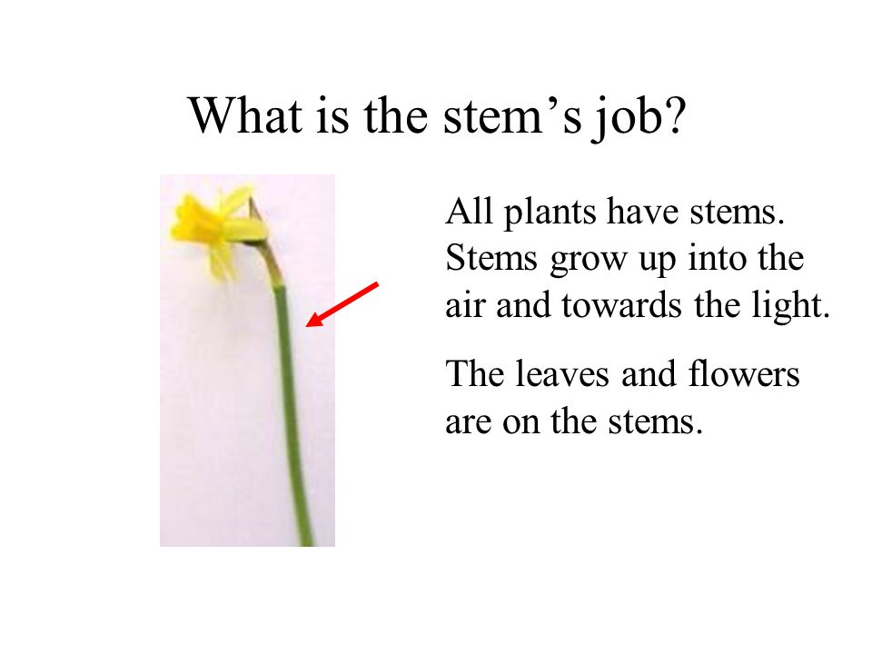 What is the stems job? All plants have stems. Stems grow up into the air and towards the light.