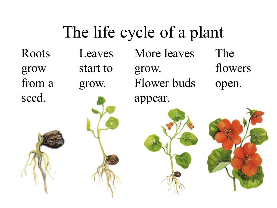 The life cycle of a plant Roots grow from a seed. Leaves start to grow. More leaves grow. Flower buds appear.