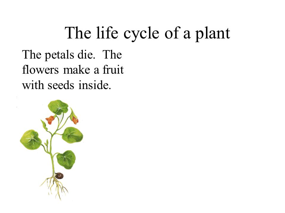 The life cycle of a plant Roots grow from a seed. Leaves start to grow. More leaves grow. Flower buds appear. The flowers open.
