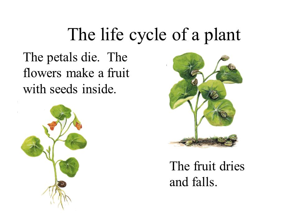 The life cycle of a plant The petals die. The flowers make a fruit with seeds inside.