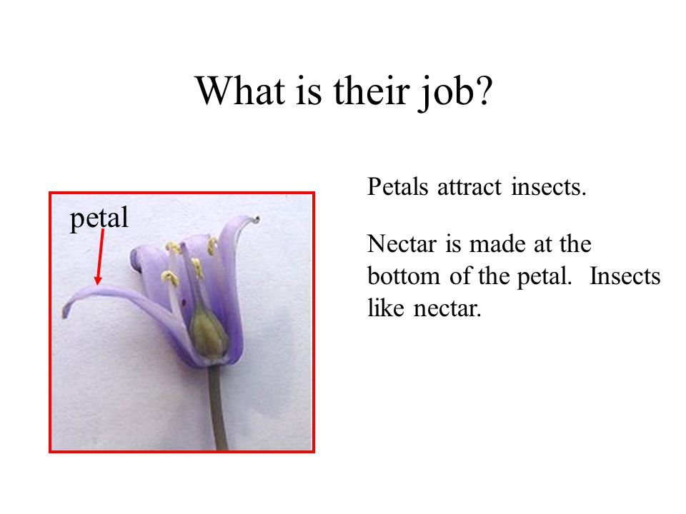 What is their job? Petals attract insects. petal