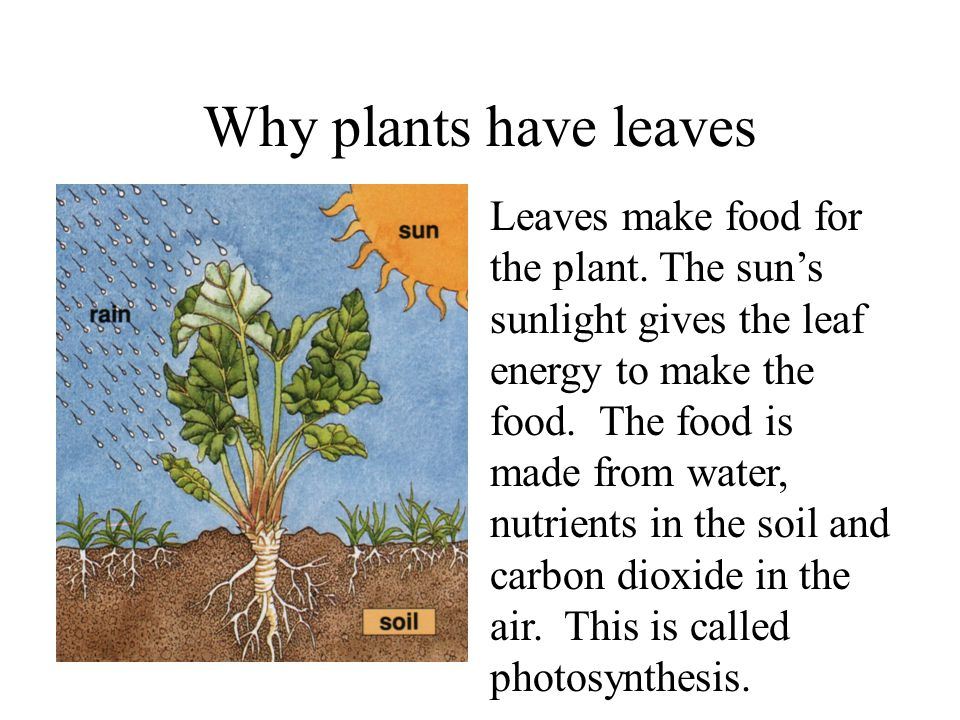 Why plants have leaves Leaves make food for the plant. The sun shines on each leaf. Sunlight gives the leaf energy to make the food. The food is made