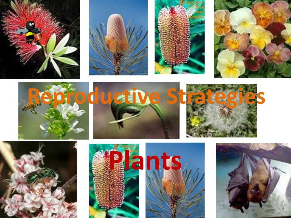 Plant Reproduction Reproduction in Flowering Plants and Conifers The process of pollination The reproductive cells in these plants are the eggs and pollen produced at particular times of the year.