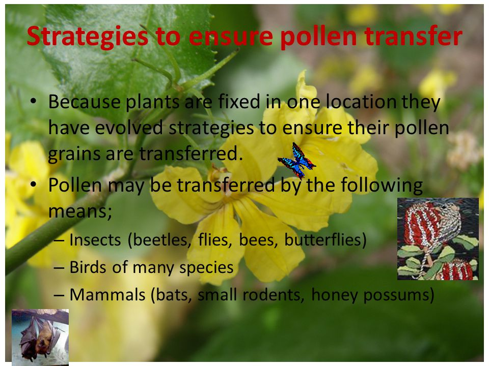 Strategies to ensure pollen transfer Wind pollination – Pollen of all conifers and some flowering plants is carried by the wind – Pollen carried by the wind is small, smooth and very light – Flowering plants that are wind pollinated Do not have brightly coloured flowers Have pollen producing organs (stamens) exposed to the wind Have feathery stigmas to catch passing pollen grains – Wind pollination is affected by climate