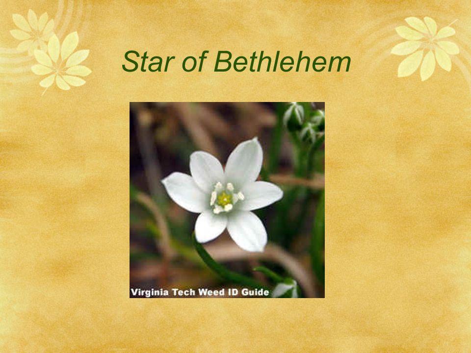 Star of Bethlehem