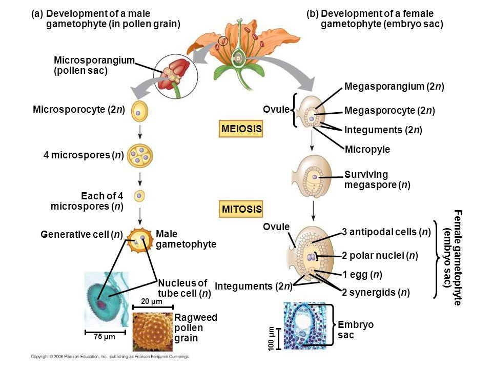 (a) Development of a male gametophyte (in pollen grain) Microsporangium (pollen sac) Microsporocyte (2n) 4 microspores (n) Each of 4 microspores (n) Male gametophyte Generative cell (n) Ovule (b) Development of a female gametophyte (embryo sac) Megasporangium (2n) Megasporocyte (2n) Integuments (2n) Micropyle MEIOSIS Surviving megaspore (n) 3 antipodal cells (n) 2 polar nuclei (n) 1 egg (n) 2 synergids (n) Female gametophyte (embryo sac) Ovule Embryo sac Integuments (2n) Ragweed pollen grain Nucleus of tube cell (n) MITOSIS 100 µm 20 µm 75 µm