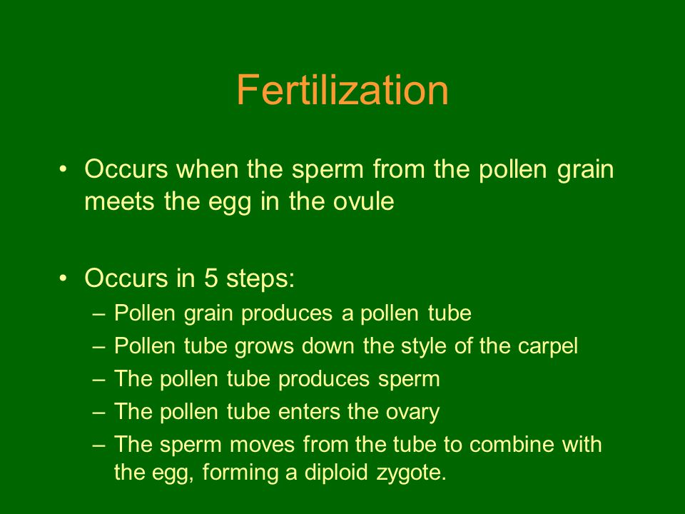 Fertilization Occurs when the sperm from the pollen grain meets the egg in the ovule Occurs in 5 steps: –Pollen grain produces a pollen tube –Pollen t