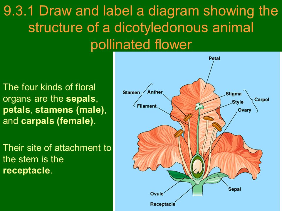 9.3.1 Draw and label a diagram showing the structure of a dicotyledonous animal pollinated flower The four kinds of floral organs are the sepals, peta