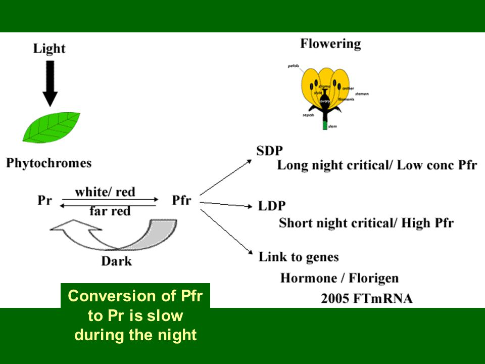 Conversion of Pfr to Pr is slow during the night