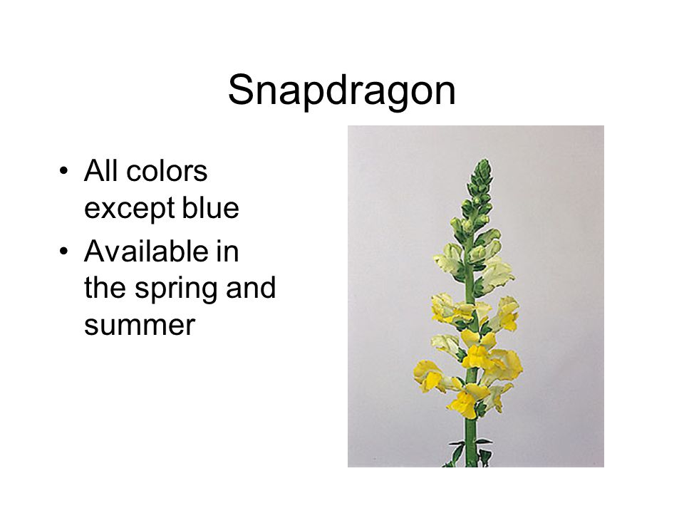 Snapdragon All colors except blue Available in the spring and summer