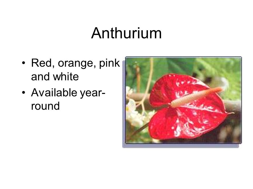 Anthurium Red, orange, pink and white Available year- round