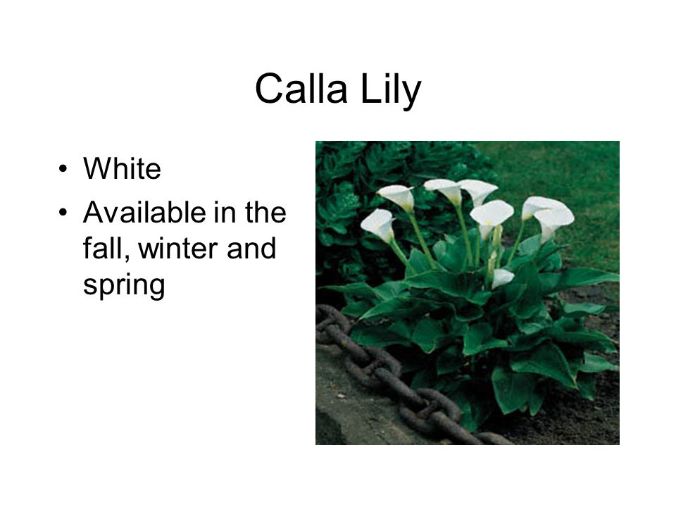 Calla Lily White Available in the fall, winter and spring