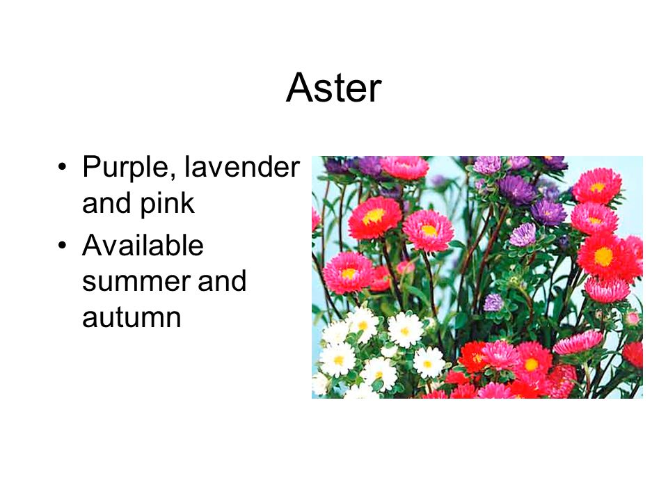 Aster Purple, lavender and pink Available summer and autumn