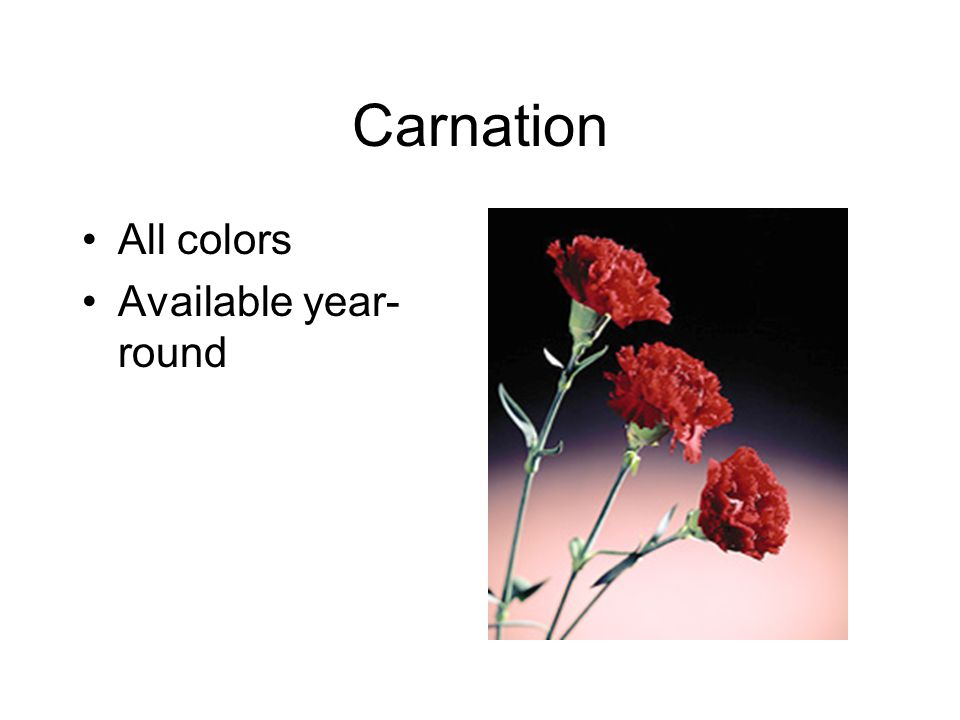 Carnation All colors Available year- round