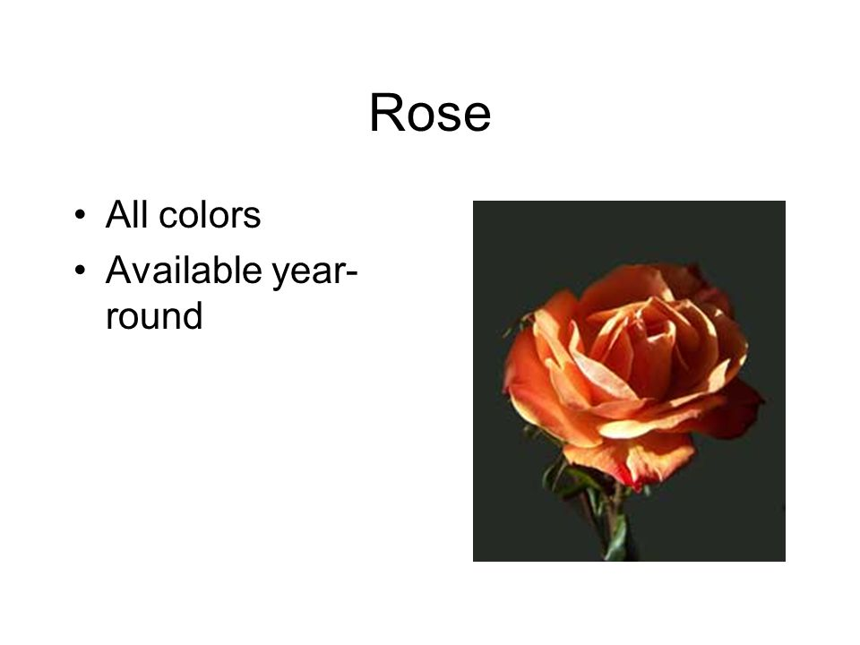 Rose All colors Available year- round