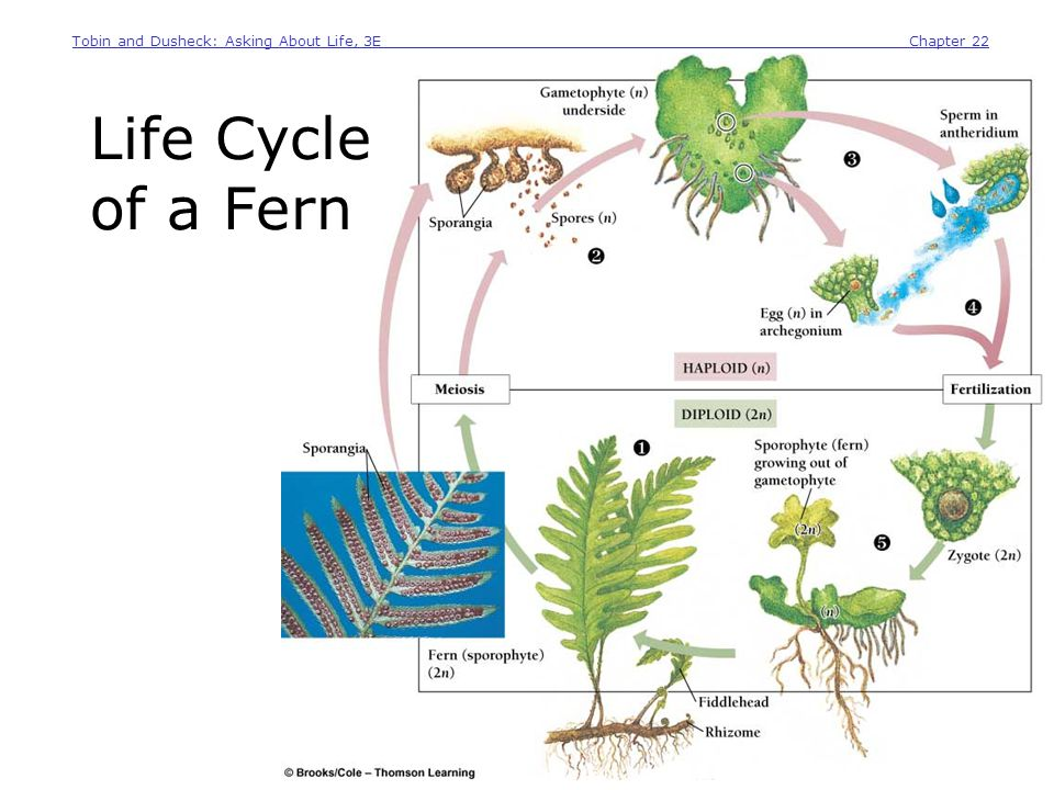 Tobin and Dusheck: Asking About Life, 3E__________ Chapter 22 Copyright 2005 Brooks/Cole Thomson Learning Life Cycle of a Fern A fern releases haploid spores Spores mature into haploid gametophytes Gametophytes make sperm and egg Fusion of sperm and egg Zygotes grow right out of the gametophyte for a new fern