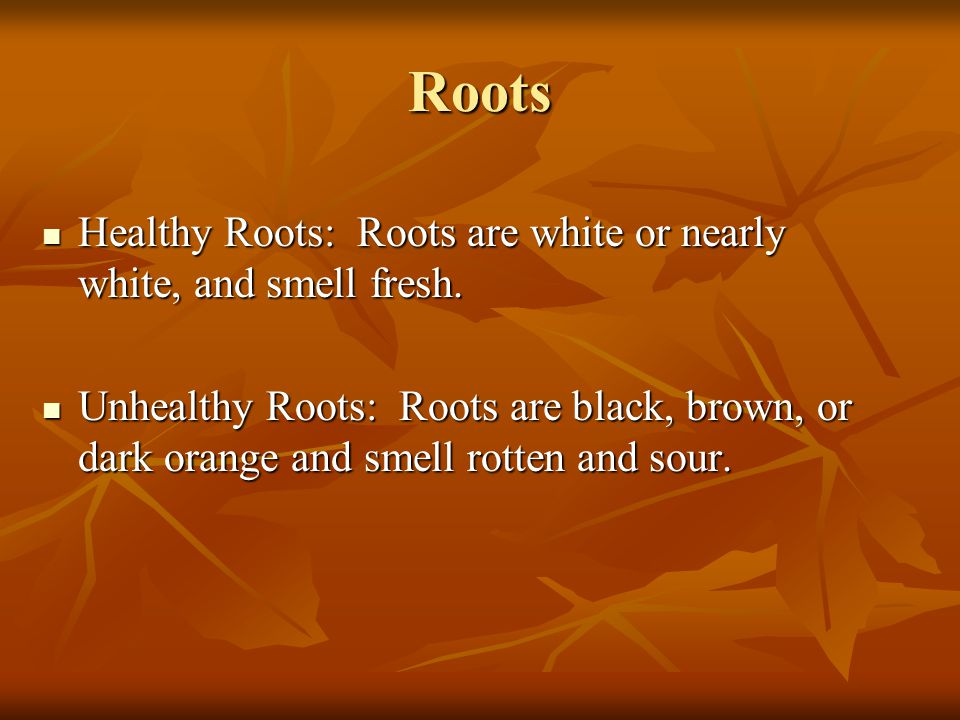 Roots Healthy Roots: Roots are white or nearly white, and smell fresh. Healthy Roots: Roots are white or nearly white, and smell fresh. Unhealthy Root