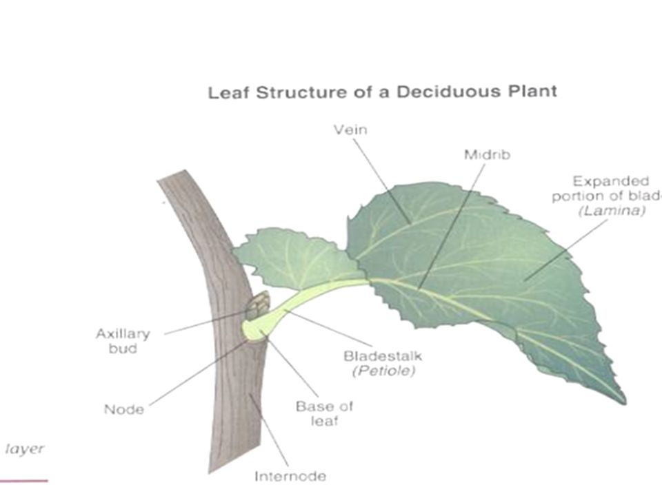 Leaves Leaf Parts Leaf Parts Leaf Blade: Large, broad, flat surface whose job is to collect sunlight Leaf Blade: Large, broad, flat surface whose job is to collect sunlight Petiole: supports the leaf and holds it away from the stem.