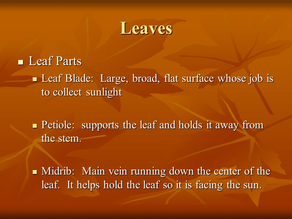 Leaves Leaf Parts Leaf Parts Leaf Blade: Large, broad, flat surface whose job is to collect sunlight Leaf Blade: Large, broad, flat surface whose job