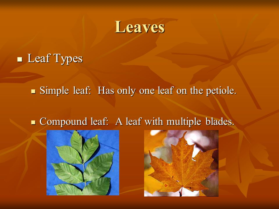 Leaves Leaf Types Leaf Types Simple leaf: Has only one leaf on the petiole. Simple leaf: Has only one leaf on the petiole. Compound leaf: A leaf with
