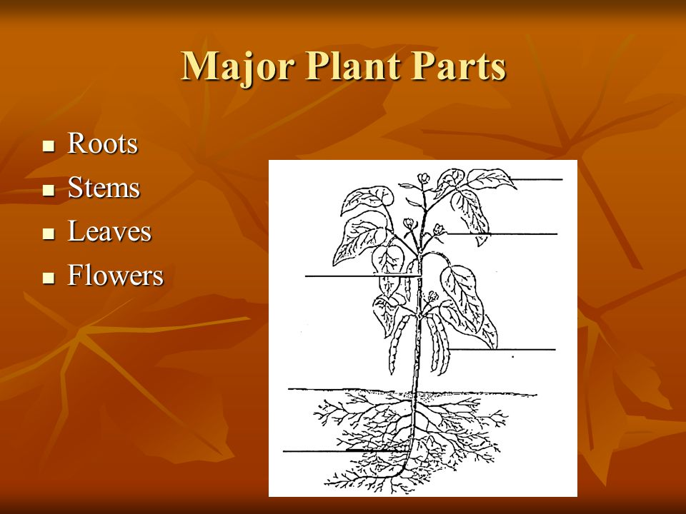 Major Plant Parts Roots Roots Stems Stems Leaves Leaves Flowers Flowers